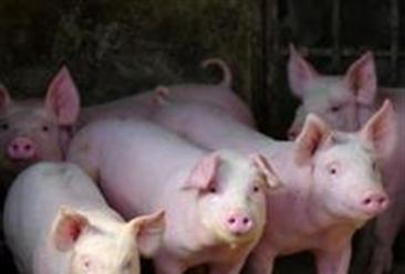 2017年8月17日全国生猪价格最新行情分析:今日猪价微涨
