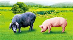 48萬年薪招清華北大學生養豬 揭秘牧原集團高薪求才背后的野心