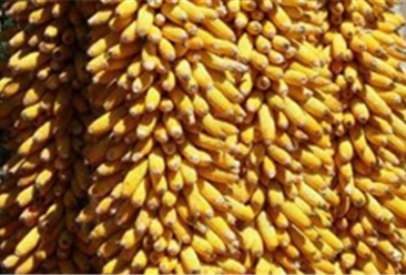 2018年10月16日全国玉米价格行情走势分析:部分港口小幅上涨