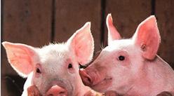 """生豬養殖產業鏈分析:""""禁養""""政策逐步加強  畜禽養殖步履艱難"""