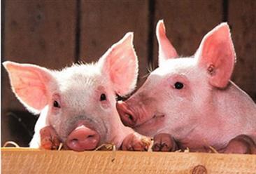 """生猪养殖产业链分析:""""禁养""""政策逐步加强  畜禽养殖步履艰难"""