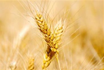 2018年小麦价格后期走势预测