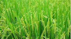 袁隆平超級雜交稻再創世界紀錄 畝產1203.36公斤!