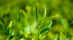 2018年1-10月中国茶叶出口数量及金额增长情况分析