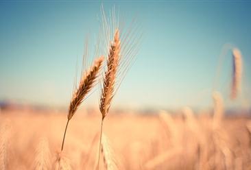 2019年中国粮食种植面积和产量数据分析及2020年预测(图)