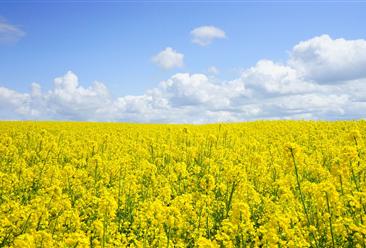 油菜籽出口受阻 加拿大为何如此之慌?大数据揭秘中加两国菜籽油之交(附图表)