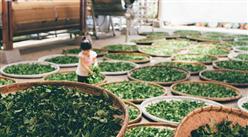 """湖南石门县统筹3200万元资金对茶产业""""强筋壮骨"""" 助力乡村振兴(表)"""