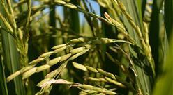 2019年全国粮食大数据:粮食总产量13277亿斤 创历史最高水平(图)