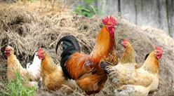 2019年5月禽肉市场供需形势分析:预计后期禽肉价格将继续上涨