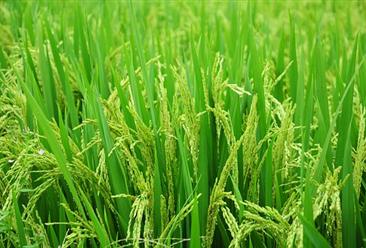 2019年全国早稻产量2627万吨  湖南省产量第一(图)