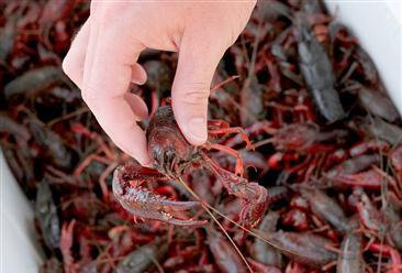 湖北省小龙虾加工市场全国最大:2018年产值186.89亿元 增长60.57%
