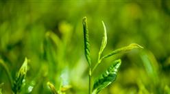 """2019""""一帶一路""""國際茶產業發展論壇舉辦 我國茶產業發展現狀如何?"""