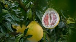 《梅州柚产业发展规划(2019-2025年)》印发  一文看懂梅州柚产业布局情况(图表)