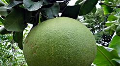梅州是广东最大的柚子产区 2019梅州市柚子产业现状及行业发展有利因素分析(图)