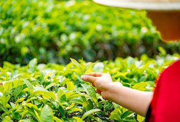2019年中国十大生态产茶县:湖南省2县上榜(附榜单)