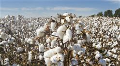 2019年10月棉花市場供需形勢分析:國內棉價小幅下跌