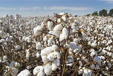2019年8月棉花市场供需形势分析:短期内棉花价格仍将低位震荡