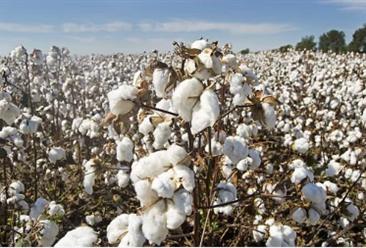 2019年全国棉花产业发展现状分析:棉花种植面积稳中略降(表)