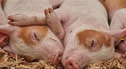 广东加快推进生猪家禽产业转型升级 到2025年全省猪肉产量保持245万吨以上(附政策全文)