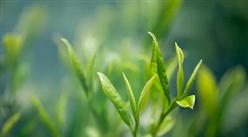 《关于促进广西茶产业高质量发展的若干意见》印发 2025年全区茶园面积发展到200万亩左右