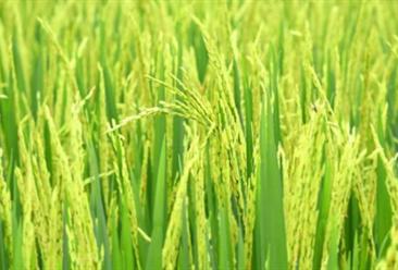 越南率先禁止大米出口 一文看懂中越大米贸易市场情况