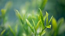 因茶致富因茶兴业  2020年我国茶叶市场发展现状分析(图)