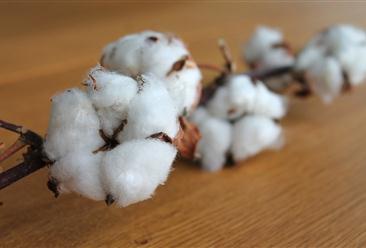 2020年12月棉花市场供需形势分析:国内外棉价持续上涨
