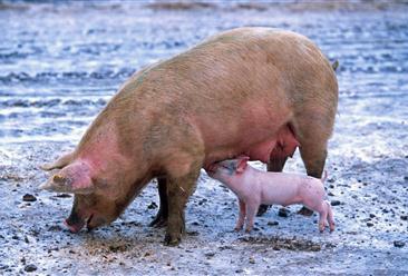 2020年中国生猪养殖行业产业链及相关企业发展分析