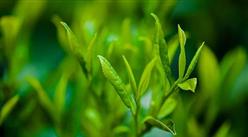 中国茶叶第一股来了!一文看懂中国茶叶产业现状及企业布局情况(附500家茶企名单)