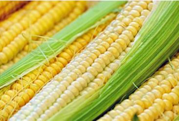 2020年第二季度饲料原料之玉米行情分析及展望(图)
