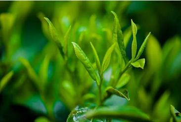 三千亿茶叶市场为何没有百亿茶企?2020年茶叶行业相关企业注册情况及企业布局分析