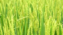2020上半年广东各地区粮食生产及价格情况分析:徐闻县受干旱影响减产较为明显