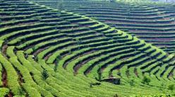 黔西南州貞豐縣高標準茶葉加工種植項目招商