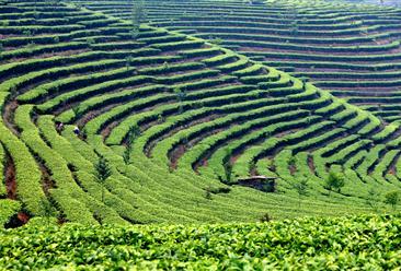 遵义市湄潭县年产5000吨大宗茶加工项目招商