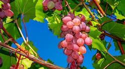 2020年9月水果市场价格及供需形势预测:水果价格继续保持下跌趋势