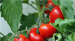 2020年9月蔬菜市场供需形势及价格走势预测:菜价逐步转入季节性下行