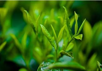 2020年中国茶业百强企业排行榜(TOP100)
