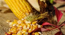 2021年2月玉米市场价格走势及供需形势预测分析:玉米价格维持高位震荡