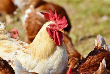 2020年12月国内禽肉市场预测分析:禽肉价格有望小幅上涨