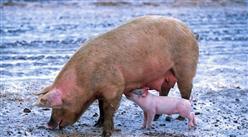 2020年12月28日全国各地最新生猪价格行情走势分析