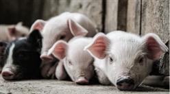 2021年1月11日全国各地最新生猪价格行情走势分析
