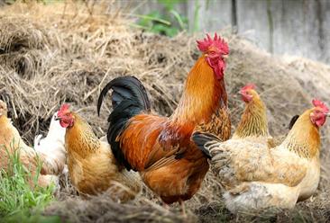 2021年1月国内禽肉市场预测分析:禽肉价格连续5周小幅上涨
