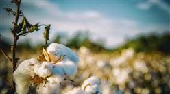 2021年中国棉花产业市场前景及投资研究报告(简版)