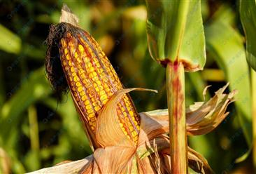 2021年4月8日全国各地最新玉米价格行情走势分析