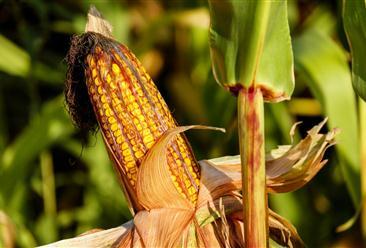 2021年4月12日全国各地最新玉米价格行情走势分析
