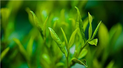 2021年中国茶园种植采摘面积分析:云南采摘面积604.65万亩