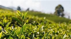 2021年中国茶叶销售情况分析:绿茶占近6成