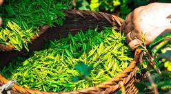 2021年中国茶叶产量情况分析:同比增长6.94%