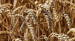2021年4月小麦市场供需及价格走势预测分析:国内外小麦价格继续下跌