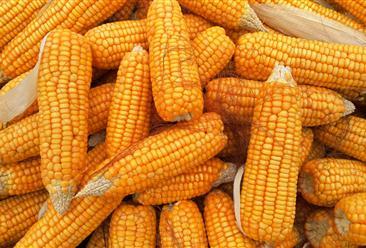 2021年5月10日全国各地最新玉米价格行情走势分析